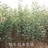 苹果苗,山西绛县矮化红富士苹果树苗批发价格电话
