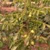 清香薄壳核桃树苗