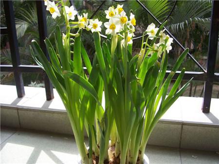水仙花的六大用途|水仙花图片