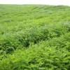 山西苗圃紫叶矮樱嫁接矮樱红叶矮樱矮樱苗价格矮樱占木