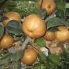 晚秋黄梨苗,烟富8苹果苗,中油16油桃苗,日本甜柿苗,石榴苗