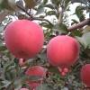 烟富0苹果苗,秋月梨苗,黄金冠桃苗,山楂苗,板栗苗