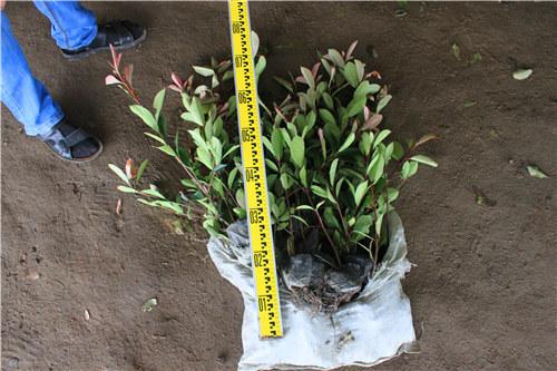 红叶石楠 小苗 h40-50 2-3分叉 0.45元每棵 50棵一捆 不带杯