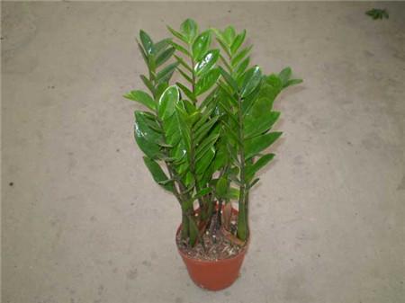 金钱树是多年生常绿草本植物,在较宽阔的客厅,书房,起居室内摆放,格调