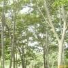 供应南京榉树等多种绿化苗木