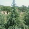 雪松苗木高度3-9米,适合北方寒冷地区