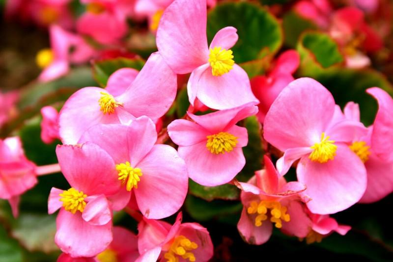 繁殖方法 四季秋海棠多采用播种繁殖。随采随播。此花卉容易收到大量种子,而且发芽力很强。种子采摘后随即可播。常于8-9月播种于浅盆,用微酸性疏松盆土,播后不用覆土,并将盆土浸湿,上盖玻璃置半荫处,在18-21,经过1-2周便可发芽。秋播四季海棠在第2年春季即可开花。也可扦插繁殖,扦插全年均可进行,但以春季扦插为主。选取植株基部粗壮的嫩枝作插穗,若选上部嫩枝扦插,成苗后分枝性弱,插于沙床,保持湿润和遮荫,经2-3周生根后置半荫处,并稍见阳光,1个月后可上盆,建议要注意除重瓣外,一般不采用扦插繁殖。多年生老株