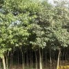 供应南京大叶女贞等多种绿化苗木