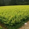 红枫价格美国红枫苗价格日本红枫价格4公分红枫价格5公分红枫价