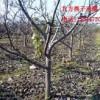 低级处理核桃树枣树雪松油松