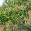 5-6-7-8公分山楂树 樱桃树 石榴树