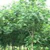 南京雪松广玉兰红叶石楠蜀桧马褂木朴树紫薇等苗价格大幅下跌