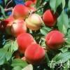 桃树苗,早熟桃树苗价格,山西大规格桃树批发电话