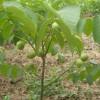 3-15公分柿子树/山楂树/苹果树/核桃树