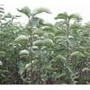 批发翅果油苗 1-3年翅果油苗 山西翅果油苗价格