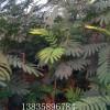 合欢树苗,紫叶合欢价格,山西合欢苗批发电话