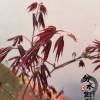 批发红枫 红枫盆景 盆景树桩 种类齐全
