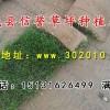 出售草坪 混播草坪 四季青草坪 冷季型早熟禾草坪