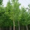 优质银杏树 白果树苗
