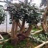 茶花 承接油茶树嫁接技术