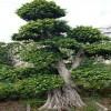 漳州小叶榕盆景2016造型榕树桩头价格