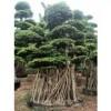 四川绵阳泸州地区造型榕树桩头(小叶榕桩头)**上车价格