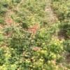 高50-80公分鸡爪槭小苗价格0.5元/棵,江西鸡爪槭价格