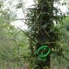 3-8公分皂角树
