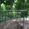新品种楸树新品种金丝楸树新品种速生楸树新品种小苗价格