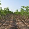 供应造林朴树小苗