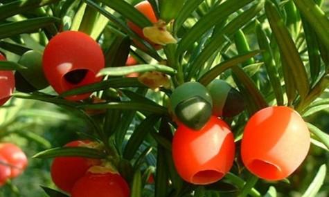 南方红豆杉栽培技术