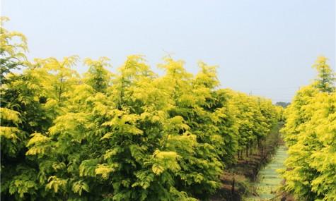 金叶水杉繁殖技术
