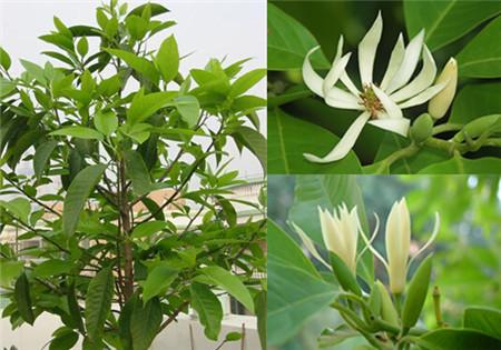 白兰花叶子发黄的五招解决方法