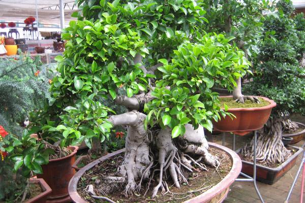 榕树盆景怎么养护