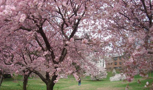 樱花树穿孔病的防治