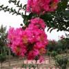 苗圃直销各种规格的百日红 紫薇  紫薇价格  紫薇小苗