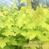 黄金枫 挪威金叶黄金枫 黄金枫价格  黄金枫小苗