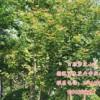 鸡爪槭  鸡爪槭小苗  柳叶枫 鸡爪槭价格  求购鸡爪槭