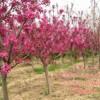 海棠 海棠树 北美海棠 海棠价格  3-5公分海棠
