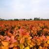 哪里有彩色苗木红霞杨?哪里的红霞杨质量好价格低?