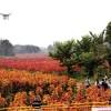 天津彩色树木红霞杨基地批发,改善城市环境新树种