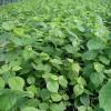 椴树欧椴精品苗木欧洲小叶椴容器苗欧洲小叶椴80公分高椴树苗