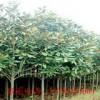 供应玉兰、栾树、五角枫、黄栌、木瓜、杜仲、樱花、山茱萸等
