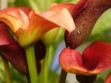 彩色马蹄莲怎么养?家庭彩色马蹄莲的养殖方法和注意事项介绍