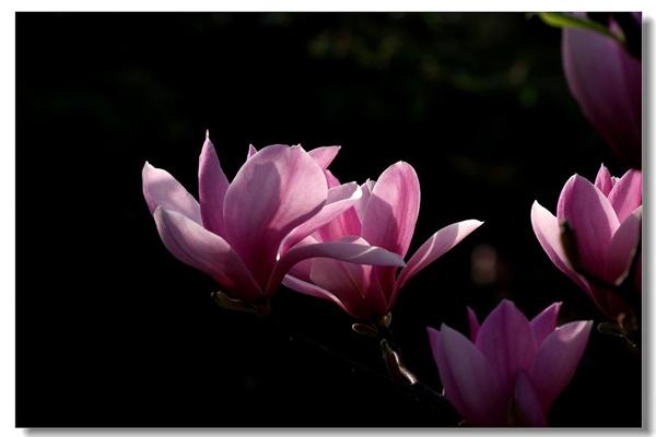 玉兰花的花语|玉兰花的图片欣赏