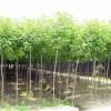 供应米径2公分重阳木小苗