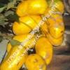 九月黄果苗种子三五叶木通果黄蜡果八九月瓜炸牛卵坨拿藤那藤包邮