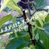 大果桑苗 四季果桑果树 苗高产量新品果桑苗 桑树苗包邮