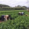 崇左哪里有茂谷柑果苗批发基地