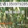 当年花椒苗+1年花椒苗+大红袍花椒苗+山西花椒苗价格